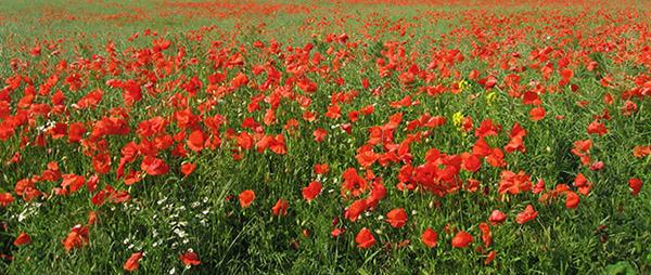 poppy-field-02